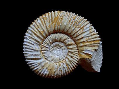 Reineckeites eusculptus