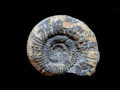 Perisphinctes (Otosphinctes) birmensdorfensis
