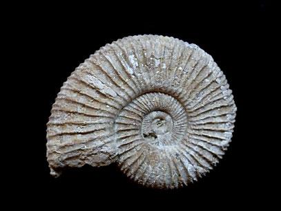 Perisphinctes (Arisphinctes) plicatilis