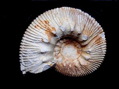 Olcostephanus variegatus