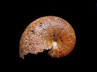 Phylloceras (Hypophylloceras) tethys