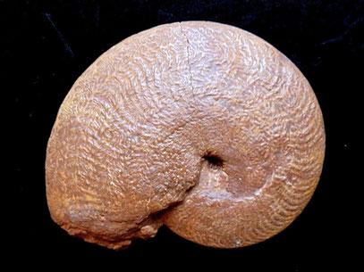 Polyplectus epiroticus
