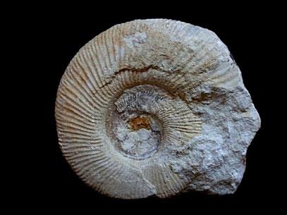 Danubisphinctes bartheli