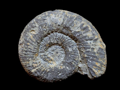 Perisphinctes chloroolithicus