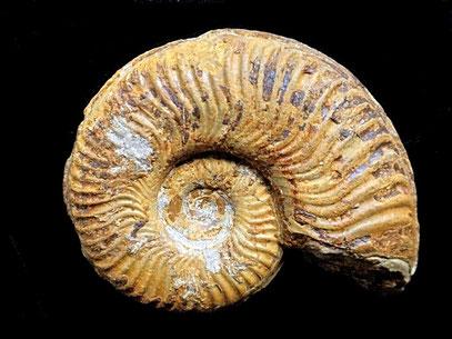 Pseudogrammoceras bingmanni