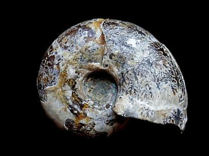 Desmoceras latidorsatum