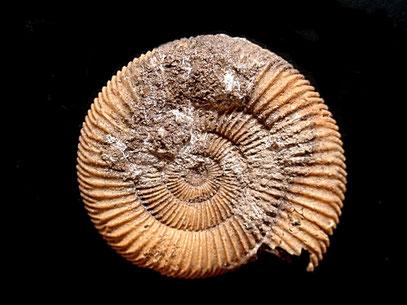 Dactylioceras athleticum