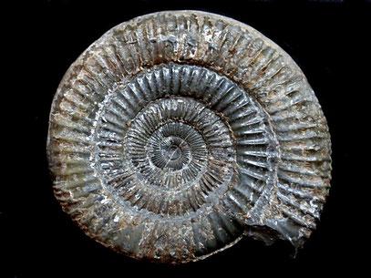 Dactylioceras sp