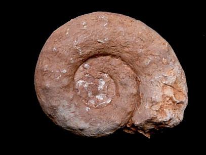 Euaspidoceras paucituberculatum