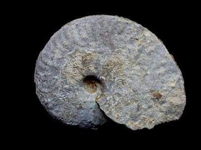 Ochetoceras hispidum