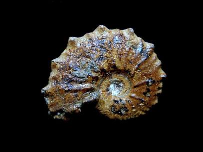 Otohoplites auritiformis