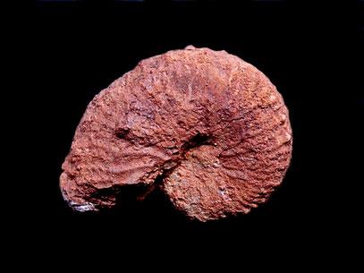 Taramelliceras compsum