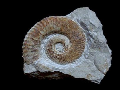 Crioceratites loryi