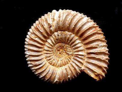 Perisphinctes (Dichotomosphinctes) besairiei