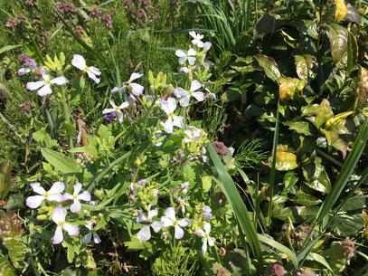 白くて可憐なだいこんの花。種を収穫するために残されたもの。The white, Daikon flower is for collecting seeds.