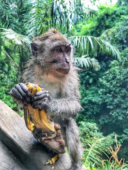 Kleines Äffchen im Sacred Monkey Forest Ubud
