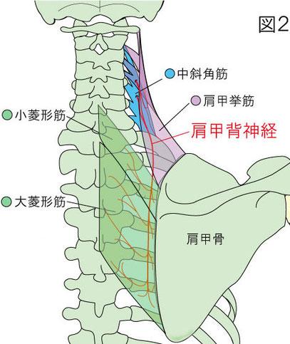 肩甲背神経 大菱形筋 小菱形筋 肩甲挙筋