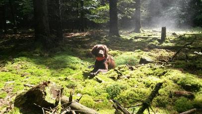 Belana (Zora) vom Aartal wartet abgelegt im Wald.