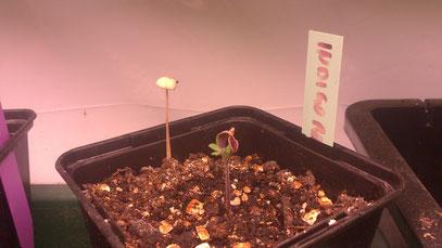 Pilz statt Paradeis ..zum vergrößern Bild anklicken