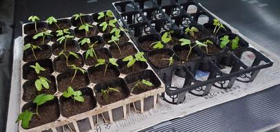 なんとこの苗、なごみの種から芽生えた苗です!