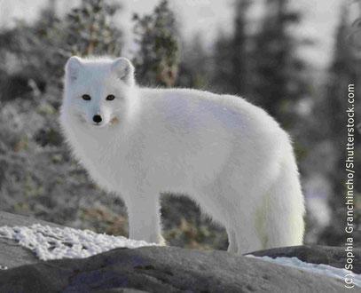 Erwachsener Polarfuchs von der Seite blickt in Kamera