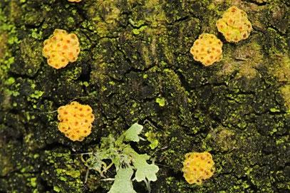 Nectria decora-Parasitisch llebender Pustelpilz