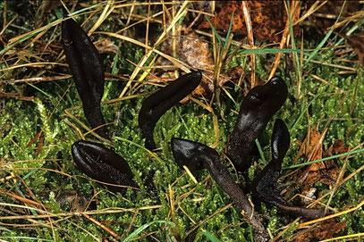 Geoglossum fallax-Täuschende Erdzunge