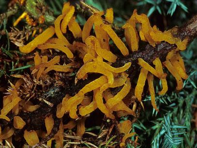 Gymnosporangium clavariiforme Wacholder-Gittrost