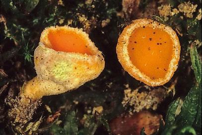 Neottiella albocincta Atrichum-Moosschälchen