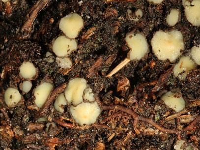 Podophacidium xanthomelum