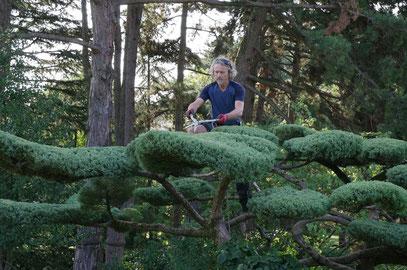 Taille japonaise de mise en forme sur Juniperus x media 'Hetzii'