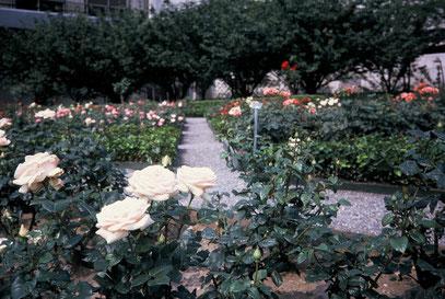 国連(ニューヨーク)の裏庭のバラ園、世界のバラが集まる、散歩の楽しみ