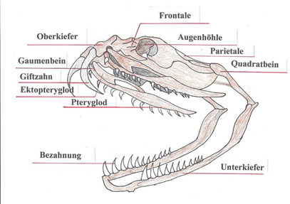 Schädel einer Klapperschlange