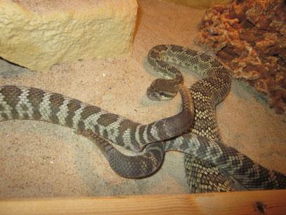 Paarung Coronado - Klapperschlange