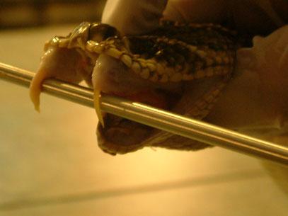 3 cm lange Giftzähne der Östl. Diamantklapperschlange