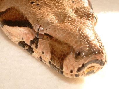 Beschuppung des Kopfes von Boa c. imperator