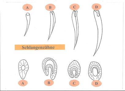 Zahntypen und dessen Querschnitt