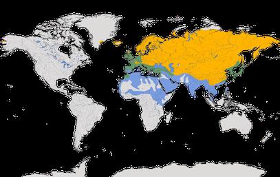 Karte zur Verbreitung der Bachstelze (Motacilla alba).