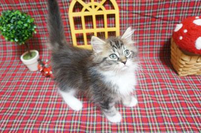 ノルウェージャンフォレストキャット 子猫