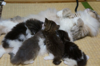 ノルウェージャンの母猫と子猫