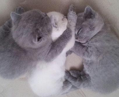 Zwei blaue Kitten, ein blue point Kitten in der Mitte.  Foto: Cattery von Märchenburg