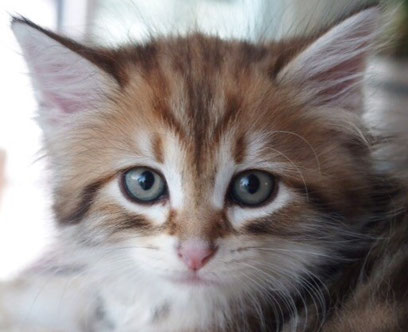 Golden tabby Kitten. Foto: therosefamily.de
