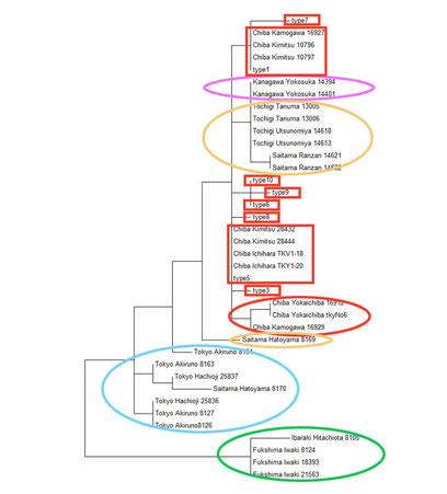 京都大学のデータ30個体と私たちの8タイプ(142個体分)を合わせた系統樹