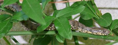 Diese Schlange lebt zwischen Dolmen und Korkeichen auf der finca *AquariOasis*
