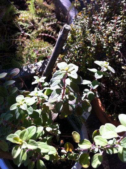 庭のスイートマジョラムとタイムそしてチラリとヤロウも