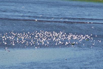 Eine Möwengruppe an der Maas