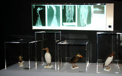Grand Pingouin, radiographies, Musée boucher-de-Perthes, Abbeville