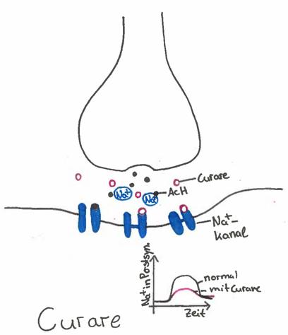 Abb. 1: Synapsengift Curare