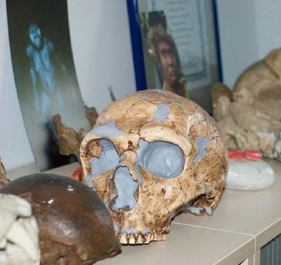 Nicht zur Dekoration, sondern als Anschauungsmaterial dienen Schädel und andere Knochen im Büro von Prof. Katerina Harvati.