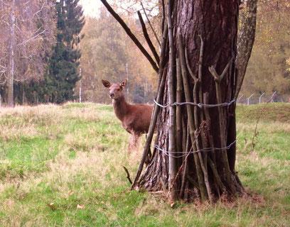 Eine Hirschkuh wartet auf Besucher